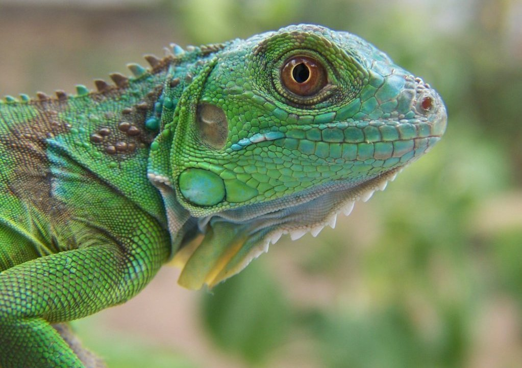 blue and green iguana