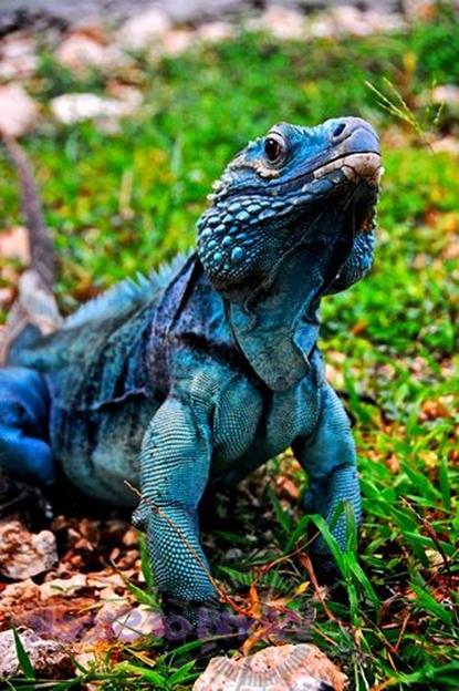 A Blue Iguana